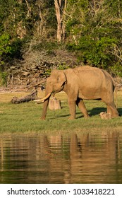 A lone tusker feeding on the bank of kabini backwaters during boat safari