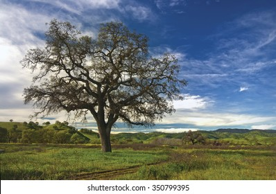 Lone valley oak tree with blue sky
