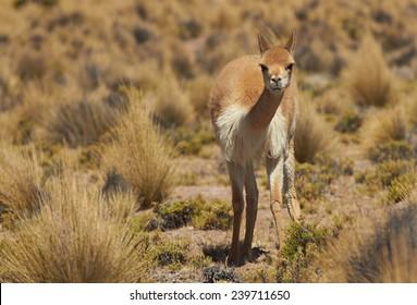 Lone vicuna (Vicugna vicugna) in Lauca National Park, northern Chile