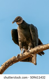 A lone vulture sitting on a branch.