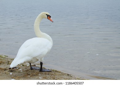 Lone White Mute Swan Standing on a Dingy Beach With Looking Curious with Head Held High