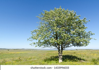 Lone Whitebeam tree by springtime in a green and bright coastland with yellow flowers at the swedish island Oland