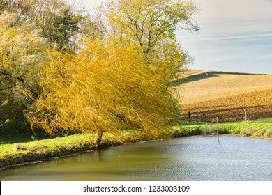 A lone willow tree being shaken by a strong wind