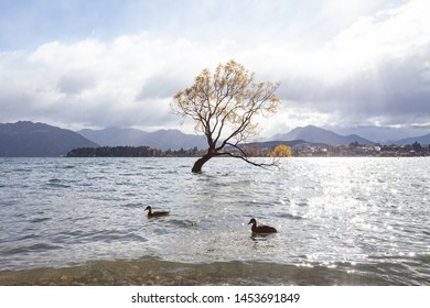 Lone willow tree at lake wanaka new zealand.  That Wanaka Tree is located right in the town of Wanaka on New Zealand's South Island.