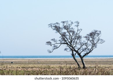 Lone windswept tree by the coast at the swedish island Oland in the Baltic Sea