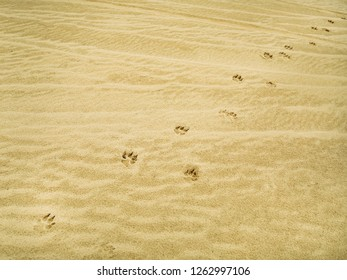 lone wolf tracks in the desert in the sand