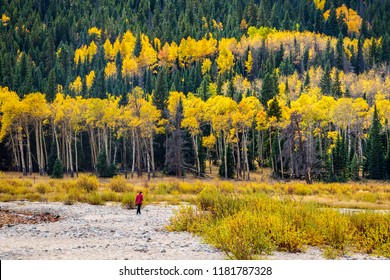 Lone woman hiker walks along gravel riverbank with forest of pine and autumn colored aspen tress in the background. Taken in Rocky Mountain National Park, Colorado USA