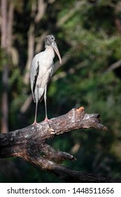 A lone wood stork, Mycteria americana , perches on a fallen tree in a South Carolina swamp.