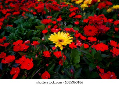 A lone yellow daisy among red flowers