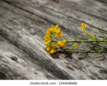 A lone yellow flower in spring on an old wooden board