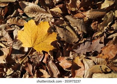 Lone Yellow Leaf