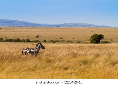 Lone Zebra in the Masai Mara Landscape