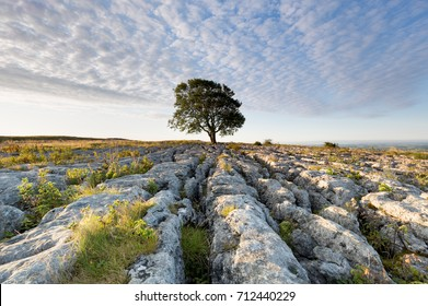 Lonelieness at dawn - the iconic Malham Ash growing through the limestone pavement in the Yorkshire Dales National Park (Ash Dieback Disease, Chalara Fraxinea)