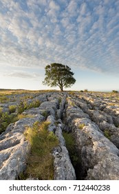 Lonelieness at dawn - the iconic Malham Ash growing through the limestone pavement in the Yorkshire Dales National Park