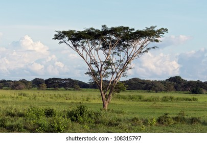 Lonely acacia in the Los Llanos - El Cedral, Venezuela, Latin America