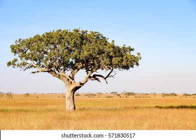 Lonely Acacia tree with a leopard hiding in Serengeti National Park