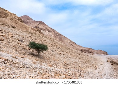Lonely acacia tree standing out the rocky mountain at Ein Gedi National Park. Israel