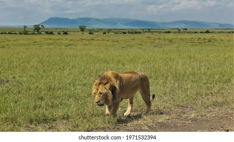 A lonely adult lion walks slowly along the savannah. Close-up. Green grass all around. In the distance are trees. Silhouette of mountains on a background of blue sky. Kenya. Masai Mara Park