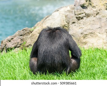 Lonely African Chimpanzee