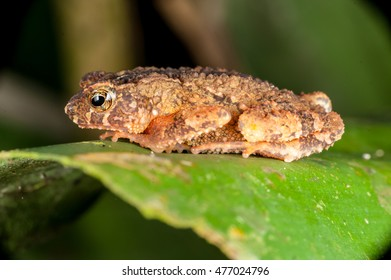 Lonely Asian common Toad (Duttaphrynus melanostictus) sit still on a green leaf