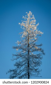 lonely bare larch in frost