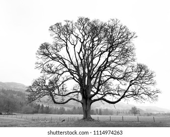 Lonely bare tree in silhouette view with strong branch crown on misty field with hill in background, in black and white,  in Perthshire Scotland,