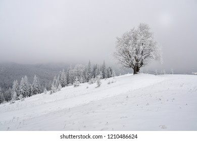 Lonely beech tree covered with hoarfrost in foggy winter mountain landscape.