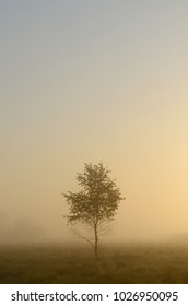 A lonely birch standing in a fog in the midst of meadows ...
