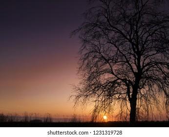 Lonely birch tree