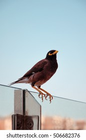 The lonely bird Myna (Mynah)(Acridotheres tristis) is sitting on the glass in Dubai, UAE