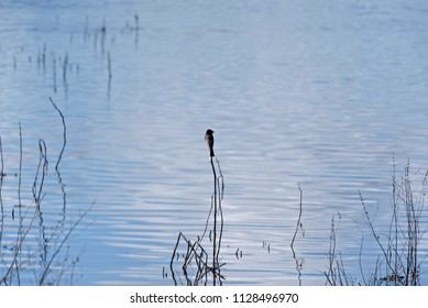Lonely Bird Perched on a Reed in the Water