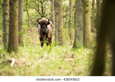 Lonely bison calf in spring forest