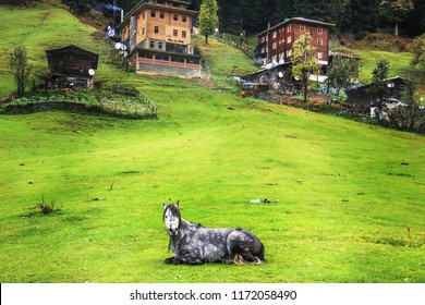 Lonely, a black and white colors horse, resting on the grassy side of the village in Ayder, Rize, Turkey.