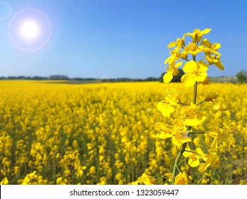Lonely blooming oilseed on yellow canola field and blue sky background