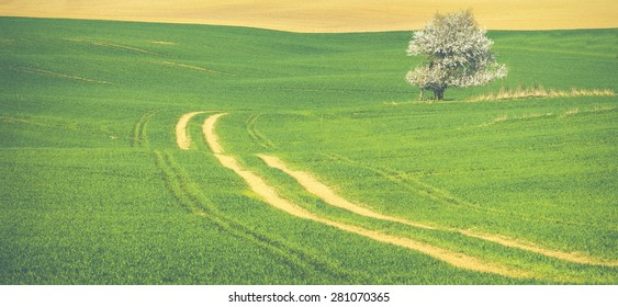 Lonely blossoming tree in green field