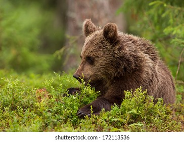 Lonely brown bear cub, Finland