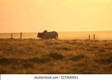 Lonely bull in field
