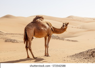 Lonely camel in the desert dunes. Liwa oasis area, Emirate of Abu Dhabi, United Arab Emirates