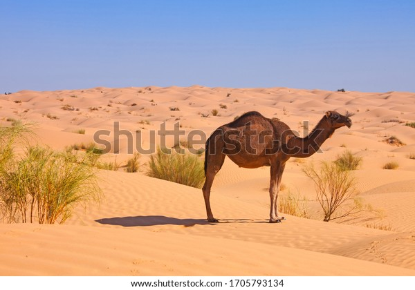 lonely camel in the dunes of sahara