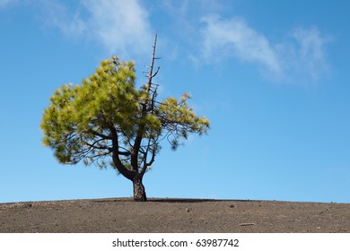 lonely Canary Island Pine (Pinus canariensis). Surreal volcanic landscape in Tenerife, Spain.