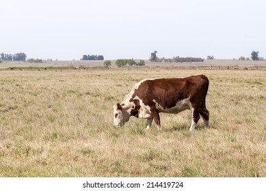 A lonely cow grazing in Argentina