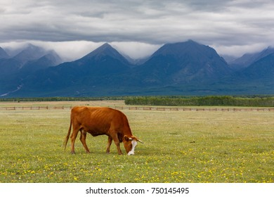 a lonely cow grazing in a meadow against the backdrop of high mountains, forests and sky with gray clouds, an autumnal gloomy afternoon