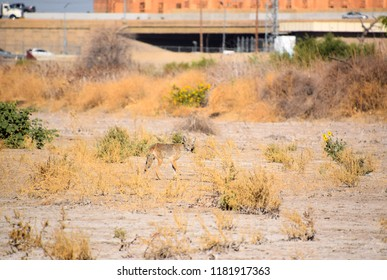 A lonely coyote roaming the dry wilderness of Kern River, Bakersfield, CA.
