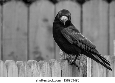 Lonely crow staring