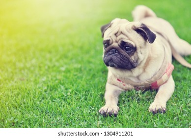 Lonely cute brown Pug lie down in green lawn