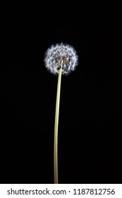Lonely dandelion on long stem glowing on black background - vertical image