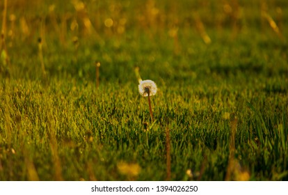Lonely dandellion blowball in shport cutted summer grass backlit in sunset time