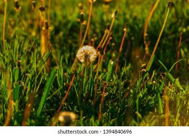 lonely dandellion blowball in summer grass backlit