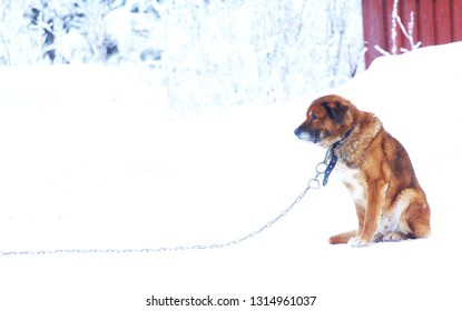 lonely dog on a chain in the winter cold