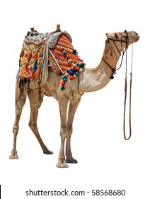 The lonely domestic camel on white.